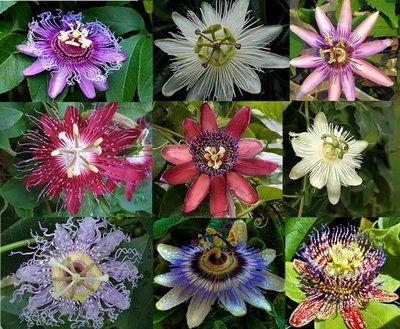 "Passionflowers, with explanation of why they're called ""passion"" flowers (because of the Passion of Christ)"