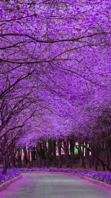 Jacaranda tree in full bloom.