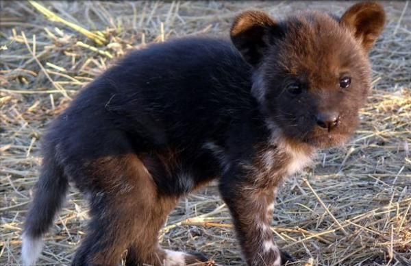 African Painted Dog puppy