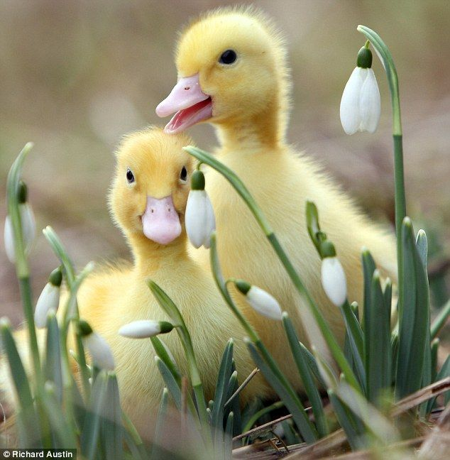 """""""Quacking snowdrops: A pair of ducklings play among spring flowers"""" © Richard Austin (Photographer, UK) via The Daily Mail, UK. Prints available at Austin's site: http://www.RichardAustinImages.com/shop/ Happy Easter :-)"""