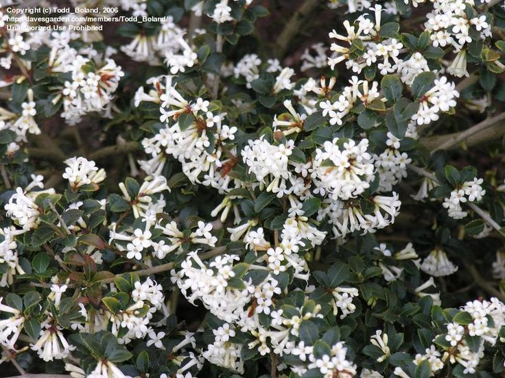 14 best spring flowers images on pinterest spring colors spring osmanthus delavayi evergreen screening shrub 6 8w 10 15 mightylinksfo