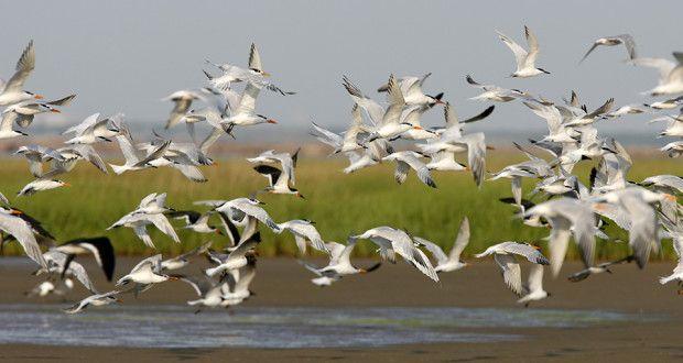 Bolivar Flats Shorebird Sanctuary