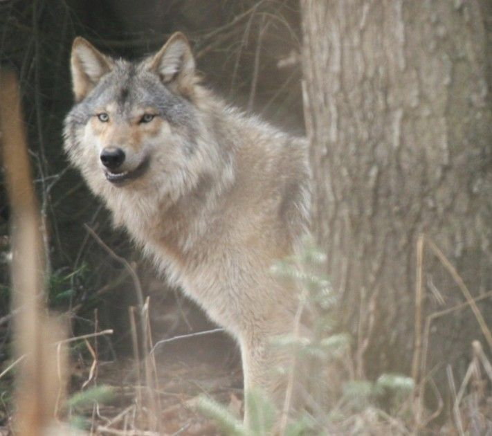 BLOG: Wisconsin Wolf Population Plummets | Wolves | Pinterest