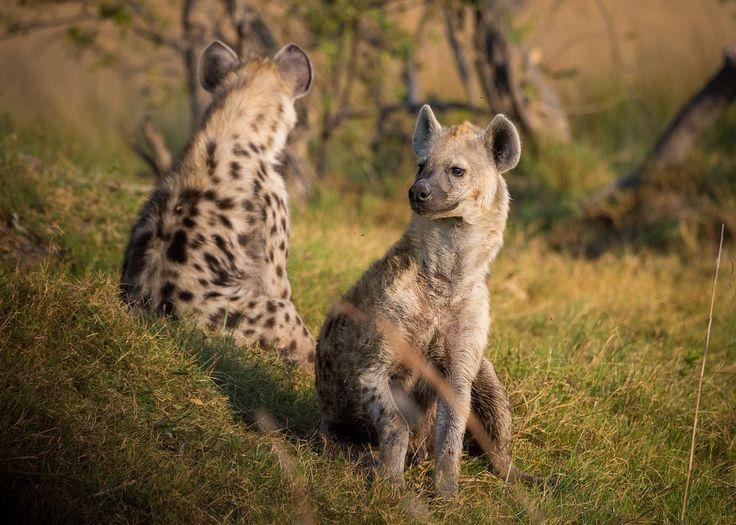Pixabayの無料画像 - ハイエナ, アフリカ, ボツワナ, 動物, 野生動物, サファリ