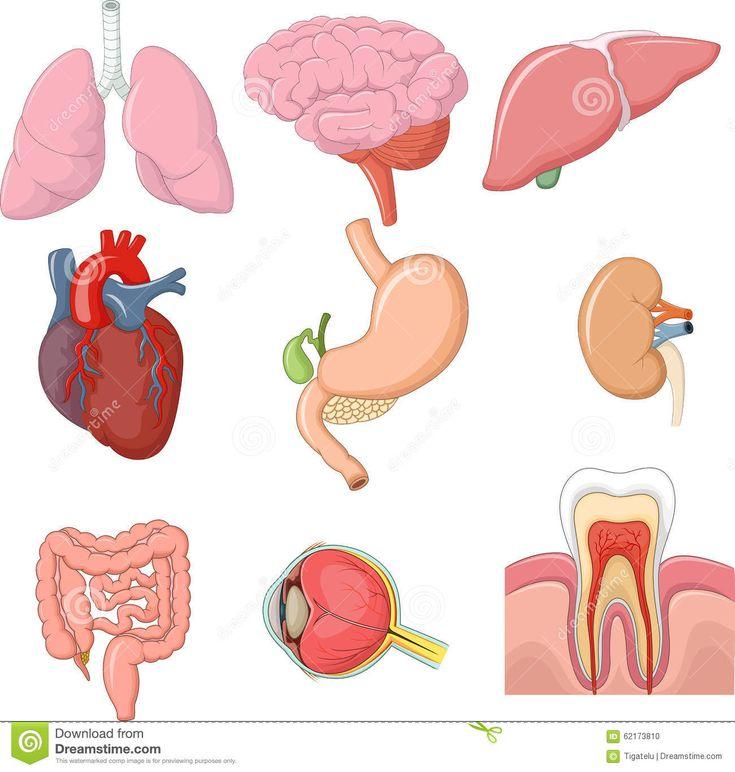 Anatomia dos orgãos internos do corpo humano