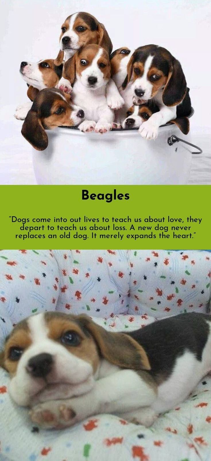 Beagle Friendly And Curious Beagle Puppy Baby Puppies Puppies