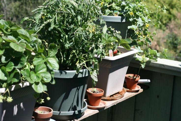 1000 Id Es Sur Le Th Me Cultiver Des Fraises Sur Pinterest Jardinage Et Conseils D 39 Entretien