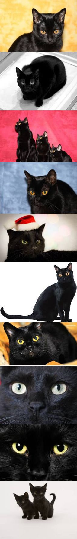Amazing Facts About Bombay Cat. Definitely Must Read!