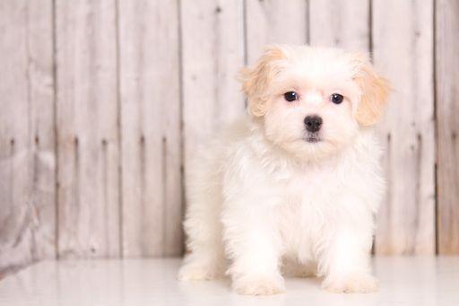 Zuchon puppy for sale in MOUNT VERNON, OH. ADN-49127 on PuppyFinder.com Gender: Female. Age: 9 Weeks Old