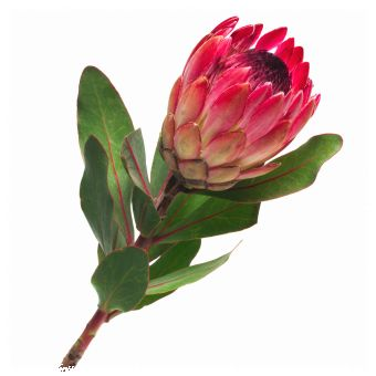 Beautiful protea photograph.  If it ends up being the family I focus on for my dissertation...