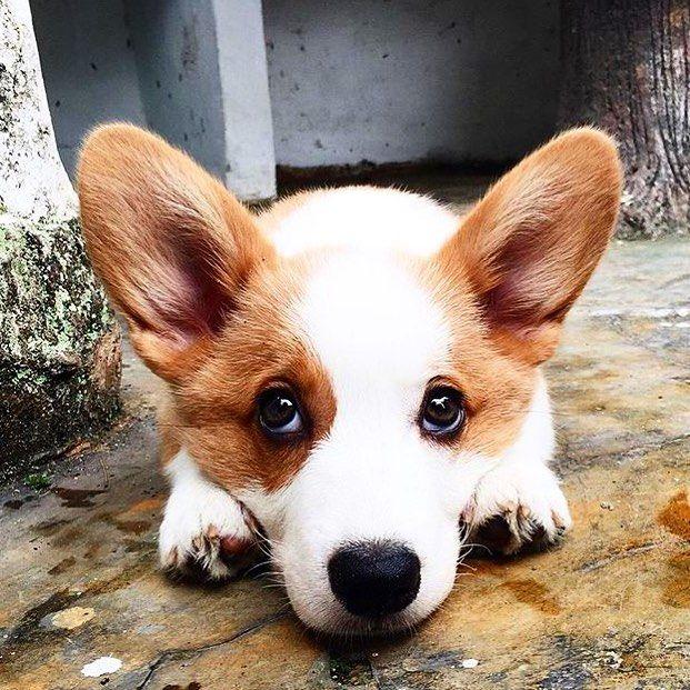 Cute Corgi Dog Cute Baby Animals Cute Corgi Puppy Cute Animals