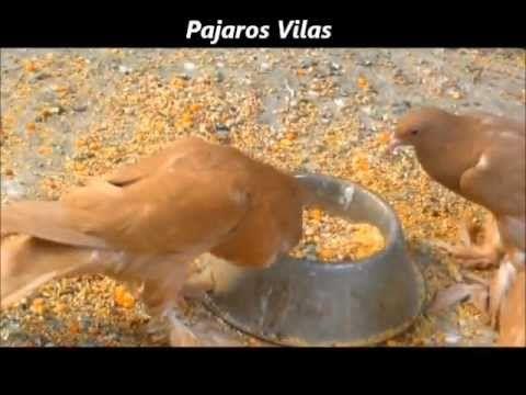 Como CRIAR PALOMAS de raza por pajaros VILAS mascotas - YouTube