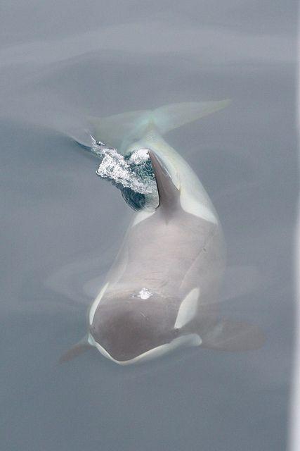 #whale #orca www.flowcheck.es Taller de equipos de buceo #buceo #scuba #dive