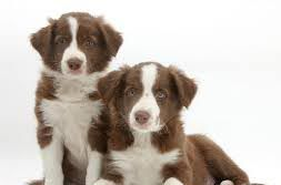 Petclubecamp+Border+Comprar+Border+Collie+Filhotes+Border+Collie+Venda+Border+collie+Cães+Border+Collie