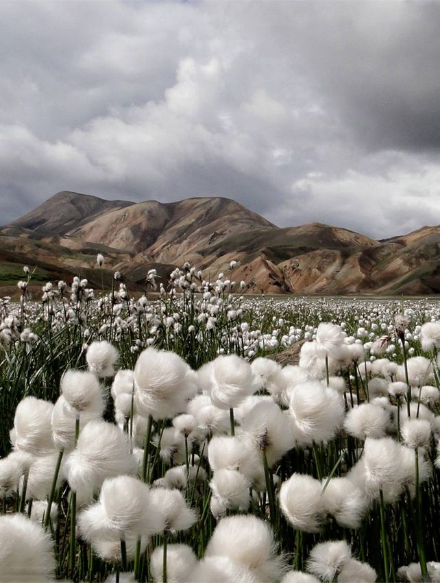 """'Cotton Grass"""" with the colourful rhyolite mountains in the distance. Photo taken by Jennifer Jesse at Landmannalaugar, Iceland."""