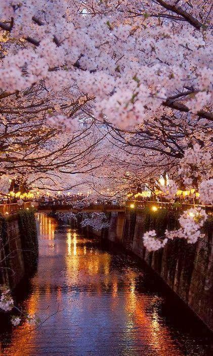 Cerisiers du Japon sur l'eau