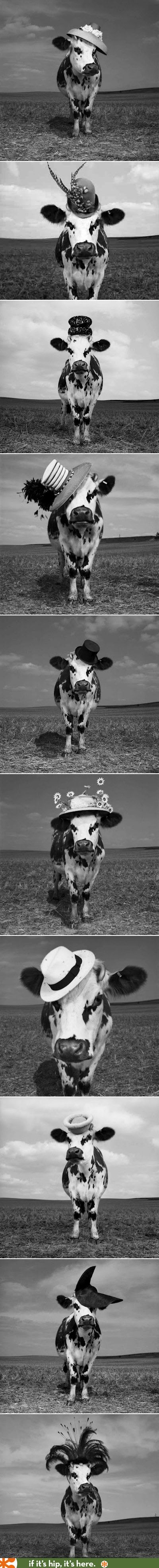 Hilarious images of Cows in Hats. (more at the link)