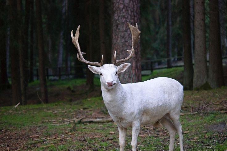 Resultado de imagen para Ciervo Albino