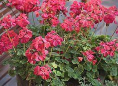 Comment hiverner un géranium chez soi sans prendre trop de place. Les conseils en vidéo d'Hubert le jardinier.