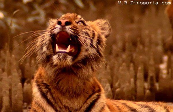 Bebe tigre du Bengale