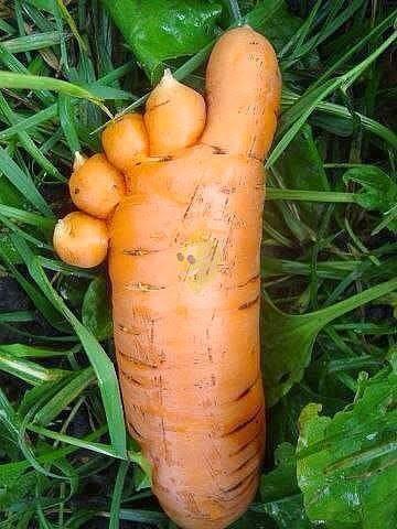 de quoi avoir un doute sur la génétique des carottes .    Voetwortel.