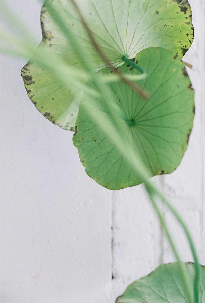 feuille de capucine ou lotus