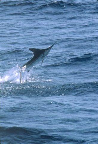 http://lemornemauritius.blogspot.co.uk/ Mauritius Le Morne and Black Marlin Big Game Fishing Accommodation