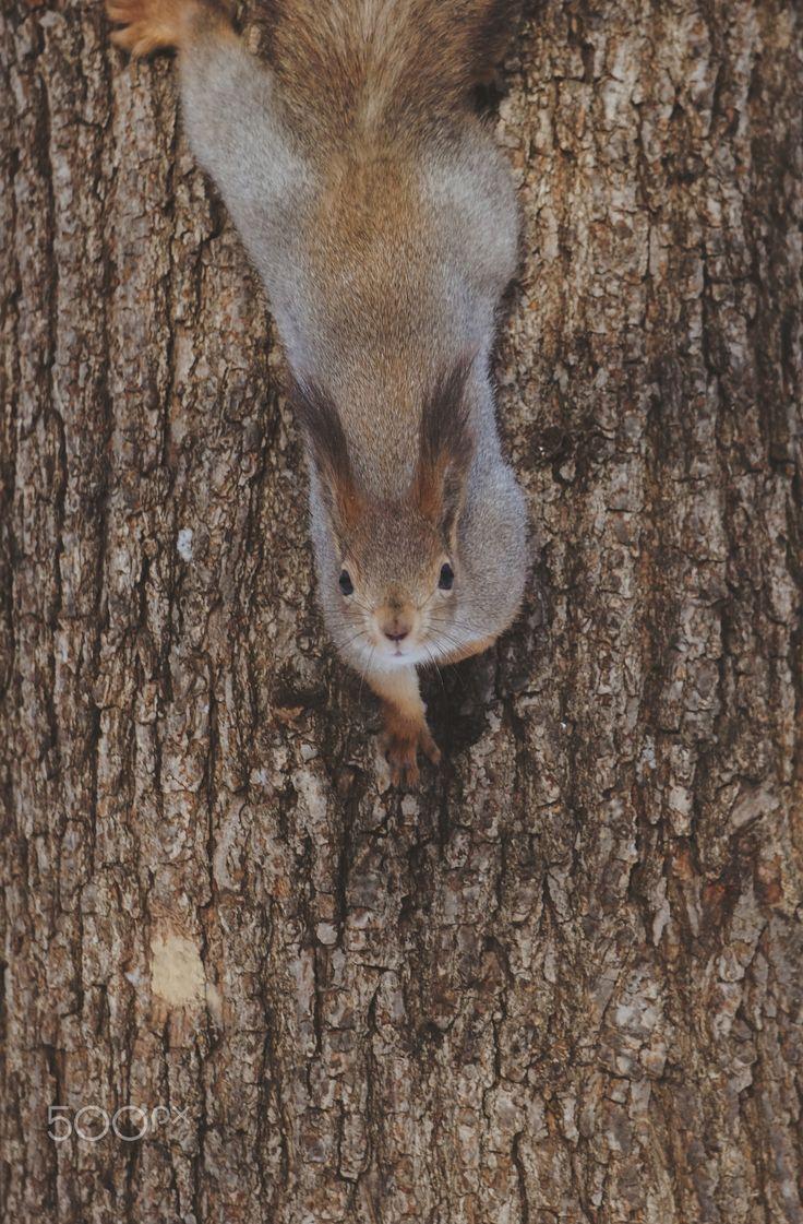 Vertical squirrel - In the Neskuchny Garden, Moscow, Russia