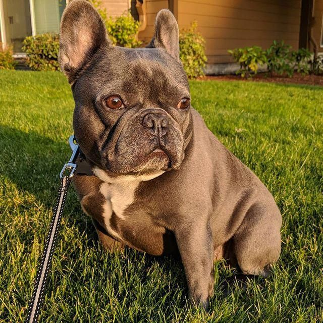 Staring At The Sun Sunworshipper Oregon Pdx Sunset 503 Frenchbulldogspuppy French Bulldog French Bulldog Dog Bulldog