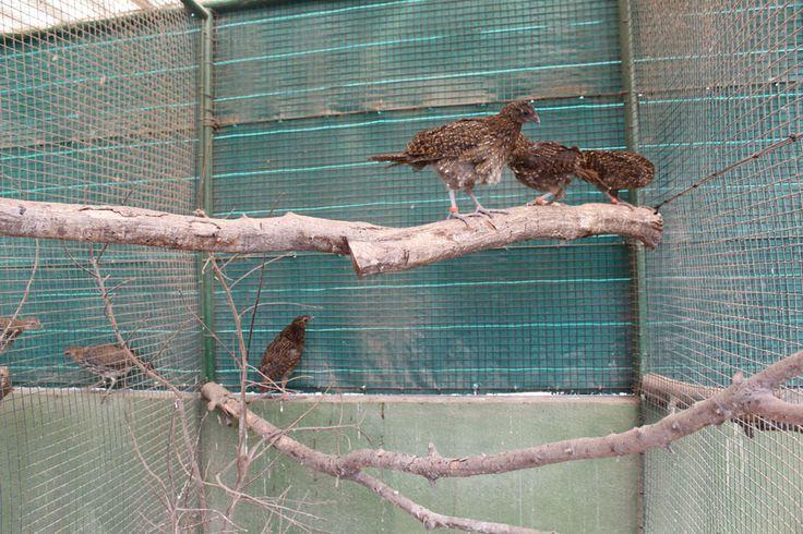 Ejemplares de tragopanes jóvenes en las instalaciones del Parque Zoológico Ornitológico de Avifauna