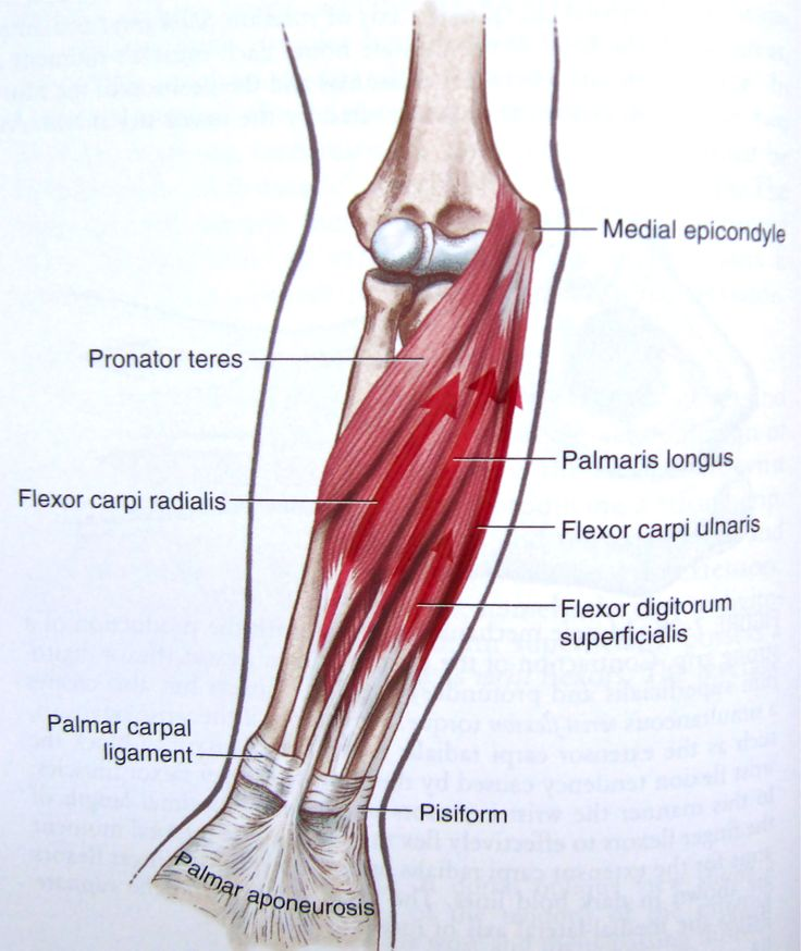 human forearm tendon detail - Google Search