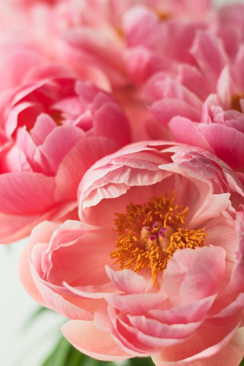 coral charm peonies, can't resist using at least some of these for the bride--the Reigning Queen of coral flowers!