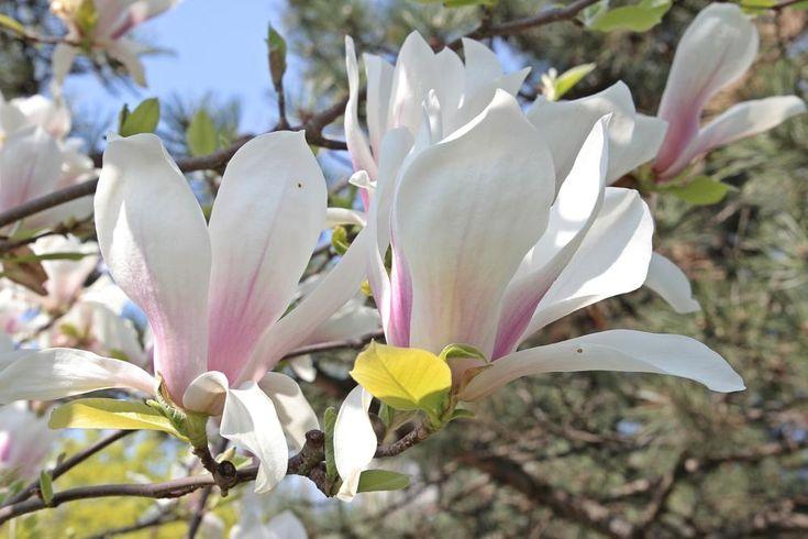 two magnolia by mircea.fotograf.az