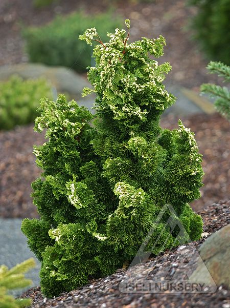 139 best conifer conehead images on pinterest for Small slow growing evergreen trees