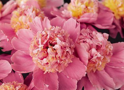 Klehm's Song Sparrow Farm and Nursery--PEONY--'Pink Lemonade'