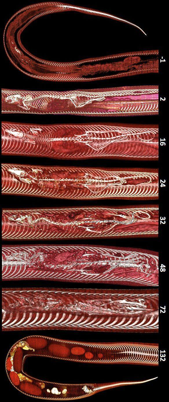 La pesada digestión de una pitón birmana Estas increíbles imágenes se han obtenido combinando dos técnicas de diagnóstico muy utilizadas la tomografía axial computerizada (TAC) y la resonancia magnética.