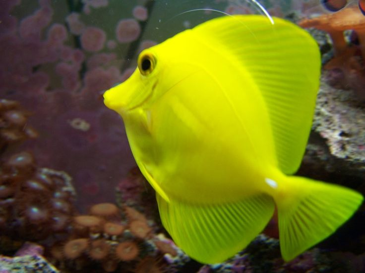 73 best images about animal on pinterest guinea pigs for Yellow tang fish