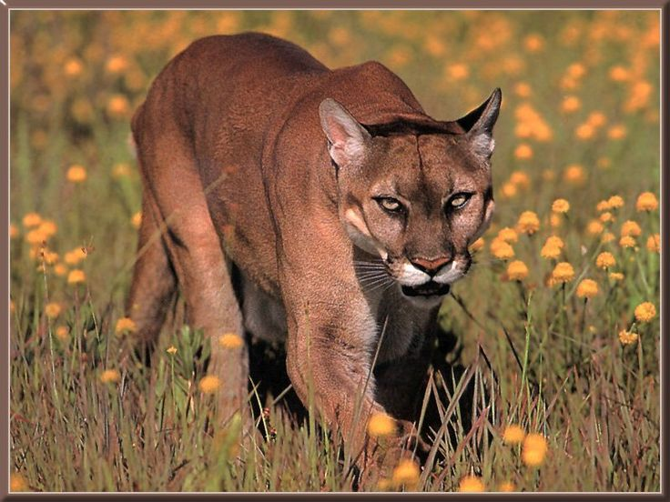 A Cougar is definately at the top of my list. I tried calling one in where there were lots of tracks... patience will one day pay off.
