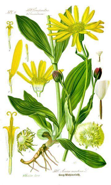 Arnika ist eine stark wirkende Heilpflanze und bekannt als Wundheilmittel bei Hautproblemen und stumpfen Verletzungen.