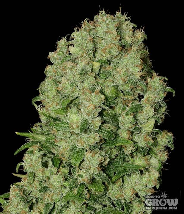 White Russian seeds – If you were asked to select two cannabis strains to hybridise to create a super-potent, easy to grow strain with a sweet taste and massive buds, you couldn't do much better than AK47 and White Widow. The result, White Russian cannabis seeds, will give you a plant with an open structure... Read More