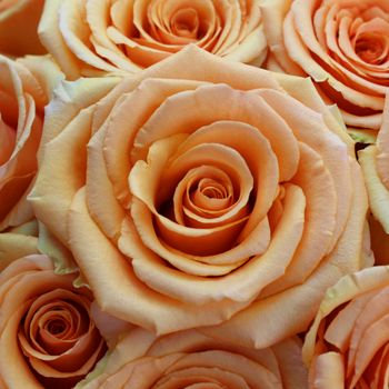 A fresh peach rose, Cinnamon has a large bloom that opens into a classic star-shaped bloom. Its stunning petals are a true peach color. This peach rose would add a special touch to a wedding bouquet, table centerpiece or flower arrangement. Our bulk Ecuadorian roses are shipped fresh in bud form at...