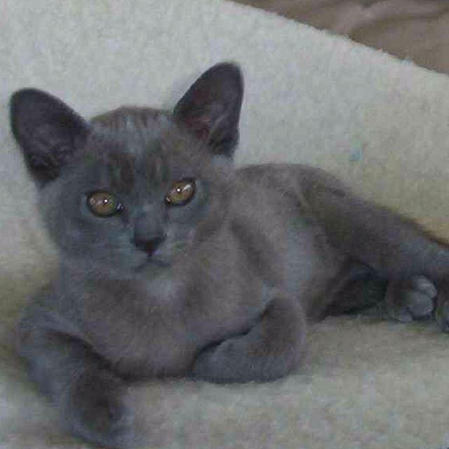 Blue Burmese kitten