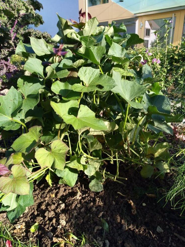 Süsskartoffeln im Garten
