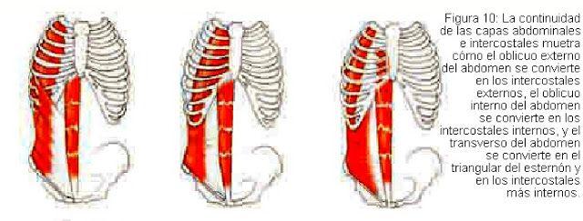 Músculos del abdomen que pasan a ser intercostales en el tórax