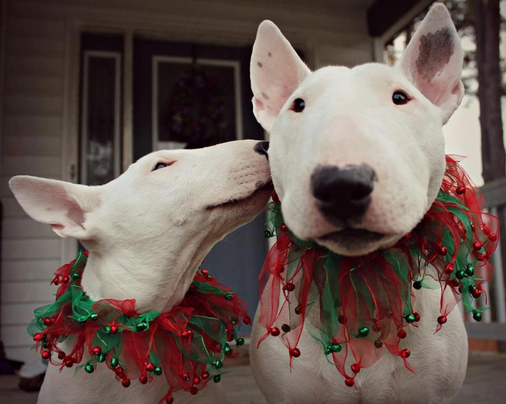 Christmas kisses! Maybelline (L) and Mojo (R); Photo courtesy Virginia Glass - Bull Terrier's Rescue photo
