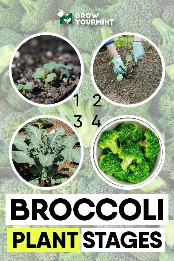 Sitemap Weekend Gardener Broccoli Plant Organic Vegetables