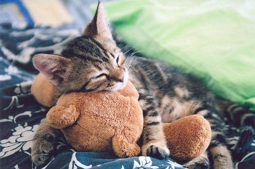 Bears Hug, Kitty Cat, Sleepy Kitty, Teddy Bears, Sweets Dreams, Baby Animal, Cuddling Buddy, Naps Time, Stuffed Animal