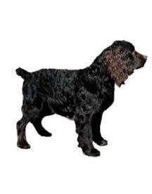 Razas de perros y Gatos | Boykin Spaniel | Mascotas Ya!