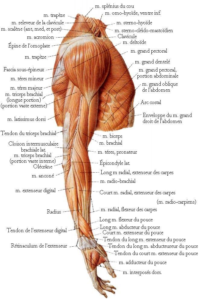 Muscles de l'épaule, du bras et de l'avant-bras (vue latérale).