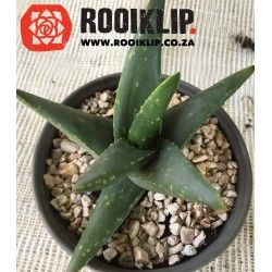 Gasteraloes